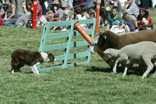 Cutters Quarters Border Collies Sheep Herding All Day