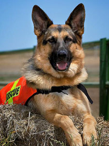 Santa Clara County Sheriff Search and Resue Canine Team